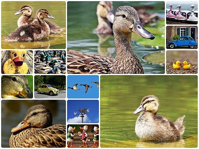 duck, collage, ducks collage