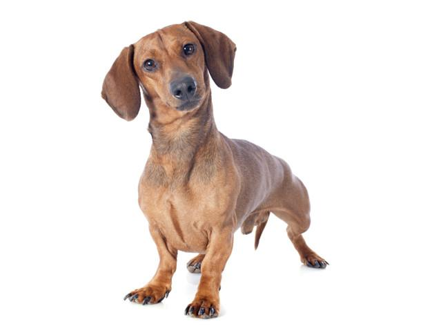 achshund dog Premium Photo