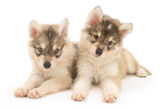 C:\Users\Imteaz\Desktop\Utonagan puppies.jpg