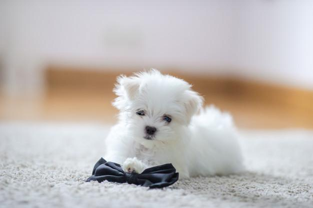 hite cute maltese puppy, 2 months old looking at us Premium Photo