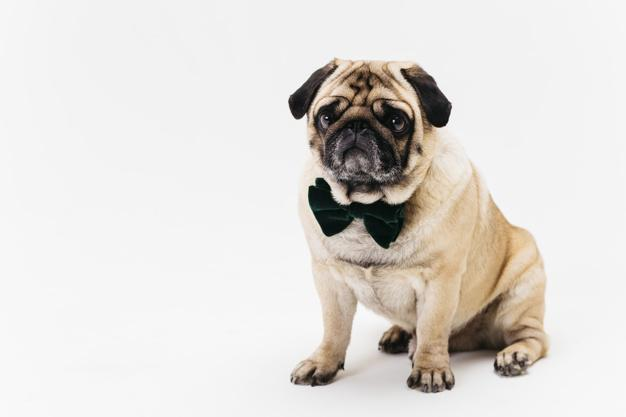 oker face apricot fawn pug in bow tie Free Photo