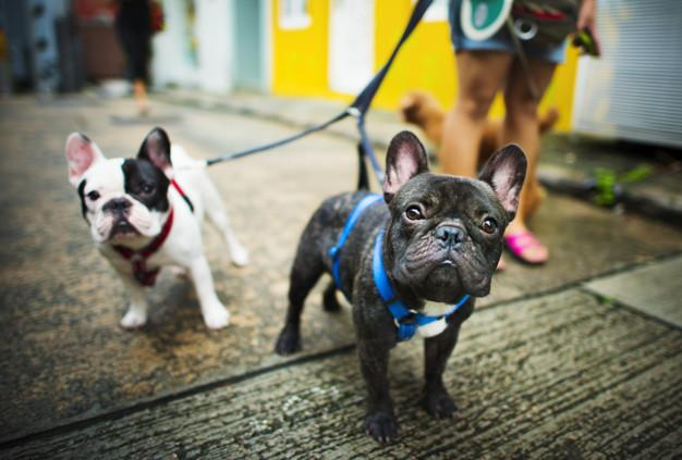rench bulldog take a walk lovely pet animal concept Free Photo