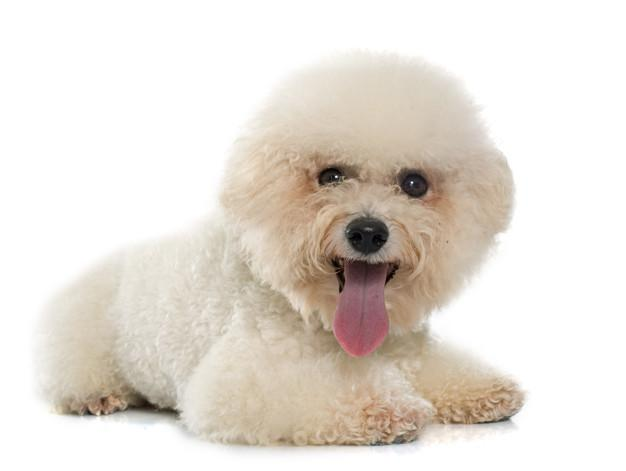 urebred bichon frise Premium Photo