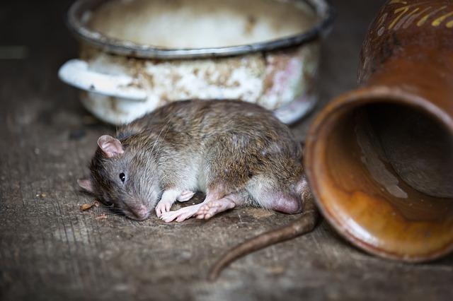 rat, pet rat, relax