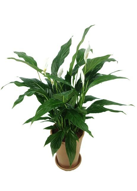 spathiphyllum, plant, air