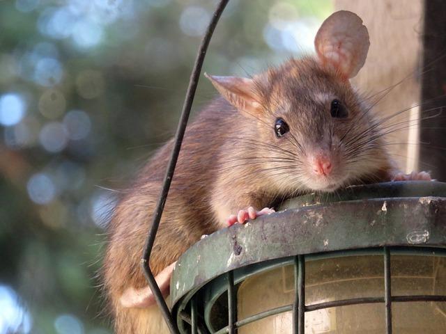 roof rat, rat, rodent