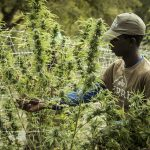 Hemp Oil Extraction: A Small Guide